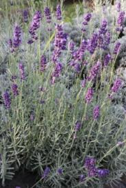 <span class=uebersicht-detail-gross>Lavendel echter</span>