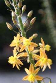 <span class=uebersicht-detail-gross>Bulbine</span> <span class=uebersicht-detail-klein>, Brenngeleepflanze, S�dafrikanische Medicus-Pflanze, Stelzenbulbine, Katzenschwanzpflanze</span>